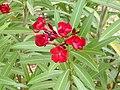 Nerium oleander 'Litlle Red' Poblado.jpg
