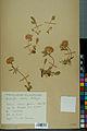 Neuchâtel Herbarium - Anthyllis cherleri - NEU000034022.jpg