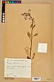 Neuchâtel Herbarium - Borago officinalis - NEU000020569.jpg