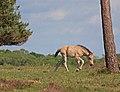 New Forest foal, Handy Cross. - geograph.org.uk - 437788.jpg