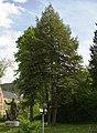 Niedersachsen, Goslar, Garten hinter der Kaiserpfalz, ND-GS 39, Hemlockstannengruppen.jpg