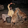Night Hyena Feeding, Harar (8656303239).jpg