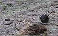 Noordwijk - Merel (Turdus merula) - male.jpg