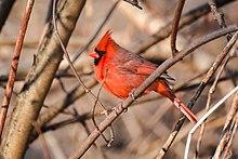 Northern Cardinal (Cardinalis cardinalis) male.jpg