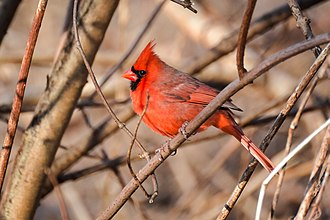 Northern cardinal - Male in Massachusetts, United States