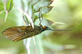 Notidobia.ciliaris.jpg