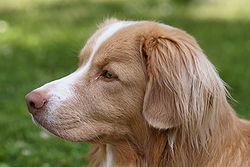 Nova Scotia Duck-Tolling Retriever headshot.JPG