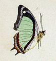 NovaraExpZoologischeTheilLepidopteraAtlasTaf59, Polyura jalysus.jpg