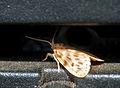 Nudariina species from Noctuidae W IMG 3444.jpg