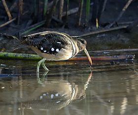 Nycticryphes semicollaris - American-painted snipe.jpg