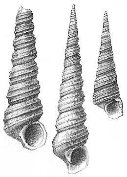 Nyst 1878 - Turritella incrassata-2