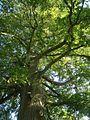 Oak, Millennium Green, Ideford - geograph.org.uk - 987857.jpg