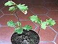 Oak bonsai D191003 -perhaps-.jpg