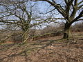 Oak trees - geograph.org.uk - 384803.jpg