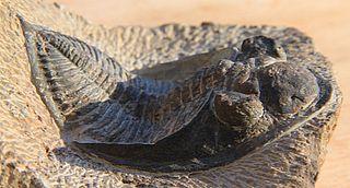 <i>Odontochile</i> genus of trilobites