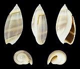 Olivella columellaris 01.jpg