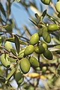 Olives (PICHOLINE) CL. J Weber (23148296045).jpg