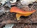 Omphalotus olearius 56212985.jpg