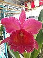 Orchid from Thailand 15.jpg