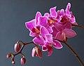 Orchidee Phalaenopsis.jpg