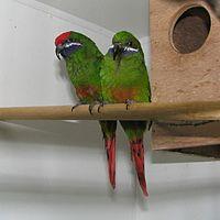 Oreopsittacus arfaki (pair) -captive-8a-4c