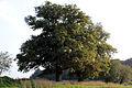 Orme dit la Bourlotte et trois chênes- Villers le Bouillet-Vaux Borset Borset.jpg