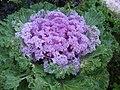 Ornamental kale IMG 5004.jpg