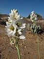 Ornithogalum cf. thyrsoides (Hyacinthaceae) (6931332103).jpg