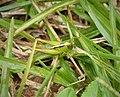 Orthoptera (48804271387).jpg