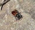 Osmia ( Hoplitis) andrenoides....nests in snail shells (32343762905).jpg