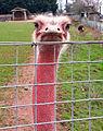 Ostrich looking.jpg