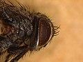 Oswaldia muscaria (27562841088).jpg