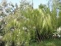 Otatea acuminata (Serres de la Madone).jpg