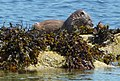 Otter on rock with seaweed - geograph.org.uk - 1357994.jpg