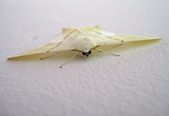 Swallow-tailed moth - Image: Ourapteryx sambucaria frontview