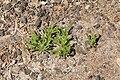 Pájara Las Hermosas - Mesembryanthemum nodiflorum 01 ies.jpg
