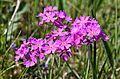 Pääsusilmad (Primula farinosa).JPG