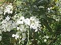 Pčela na cvijetu1329.JPG