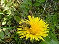 Pčela na maslačku 1.JPG