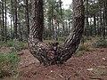 PINO RODENO - pino de madera (15539575838).jpg