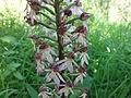 PR Milská stráň 020 - vstavač nachový (Orchis purpurea) 07.JPG