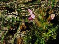 PR Vresova stran 023 Pedicularis sylvatica.jpg