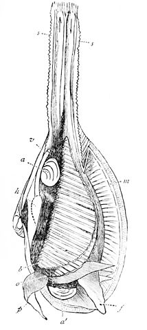 File:PSM V20 D470 Anatomy of a bivalve mollusk.jpg - Wikimedia Commons