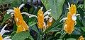Pachystachys lutea, Christchurch Botanic Gardens, Canterbury, New Zealand 03.jpg
