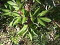 Paeonia broteri M 2.jpg