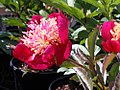 Paeonia lactiflora Bowl of Beauty 2zz.jpg