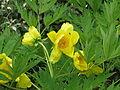 Paeonia ludlowii (5662059053).jpg
