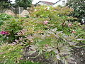 Paeonia lutea 'Hesperus' 01b by Line1.jpg