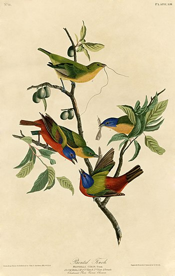 Painted Finch (Audubon).jpg