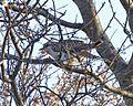 Pallid Cuckoo (Cacomantis pallidus) - Flickr - Lip Kee.jpg